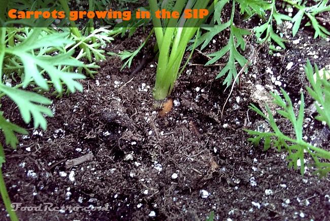 Food Retro Carrots in Sub Irrigated Planter