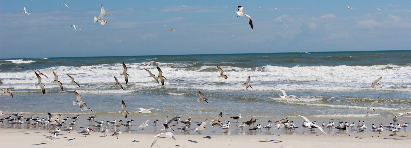 Anastasia-State-Park-Gulls 5