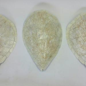 White turtle shell