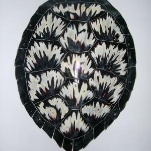 Sea Turtle Shell