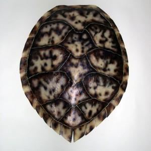 Hawksbill Sea Turtle Shell [31in x 24in]