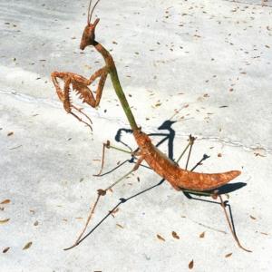 3' Praying Mantis Sculpture