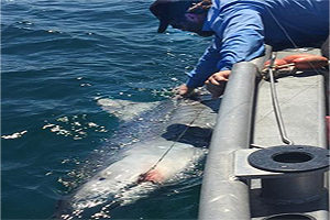 Tiger shark fishing guide on Pine Island