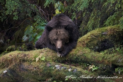 Grizzly bear sleeping with one eye open