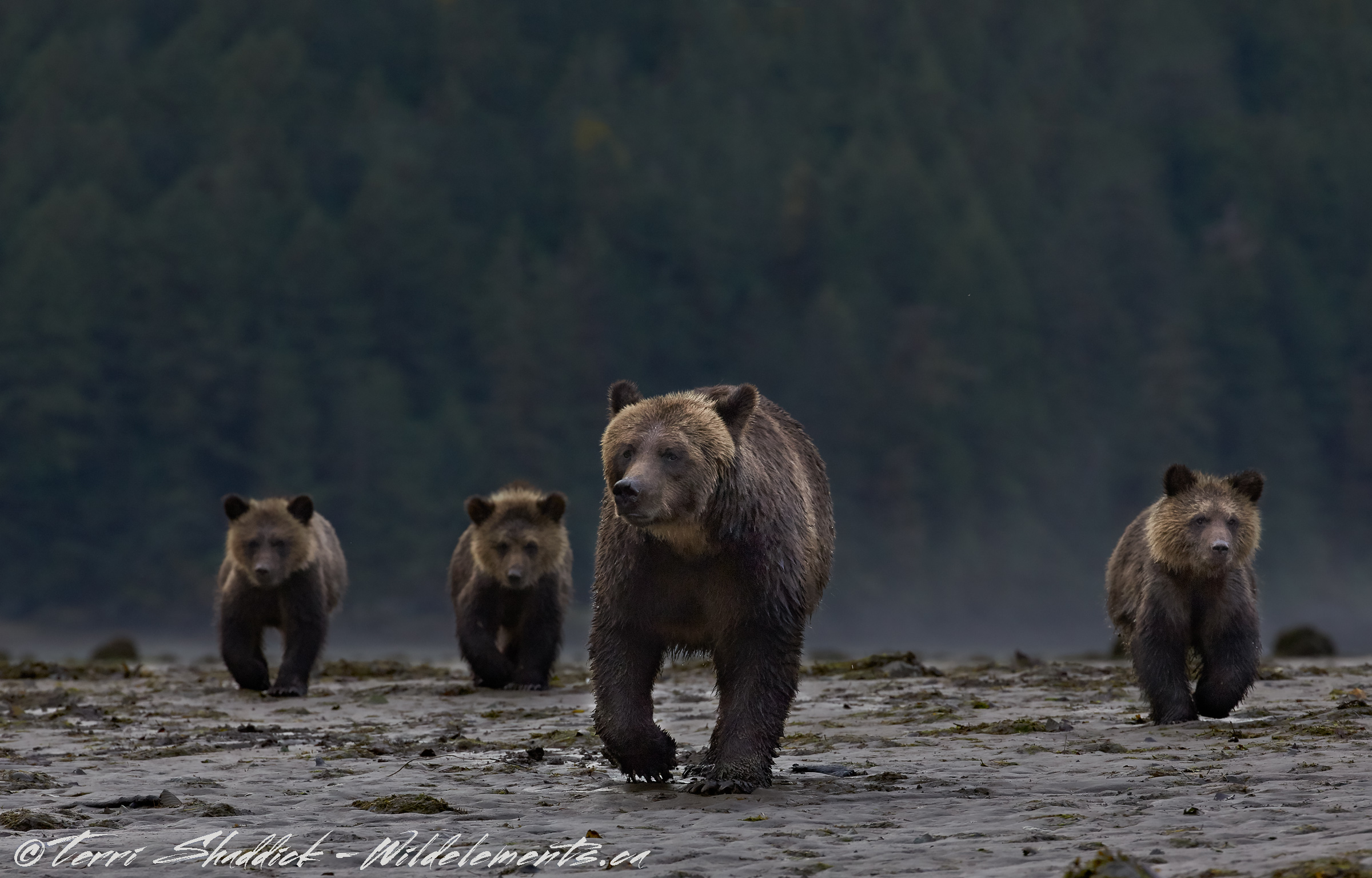 Bear Bridgade mom three cubs
