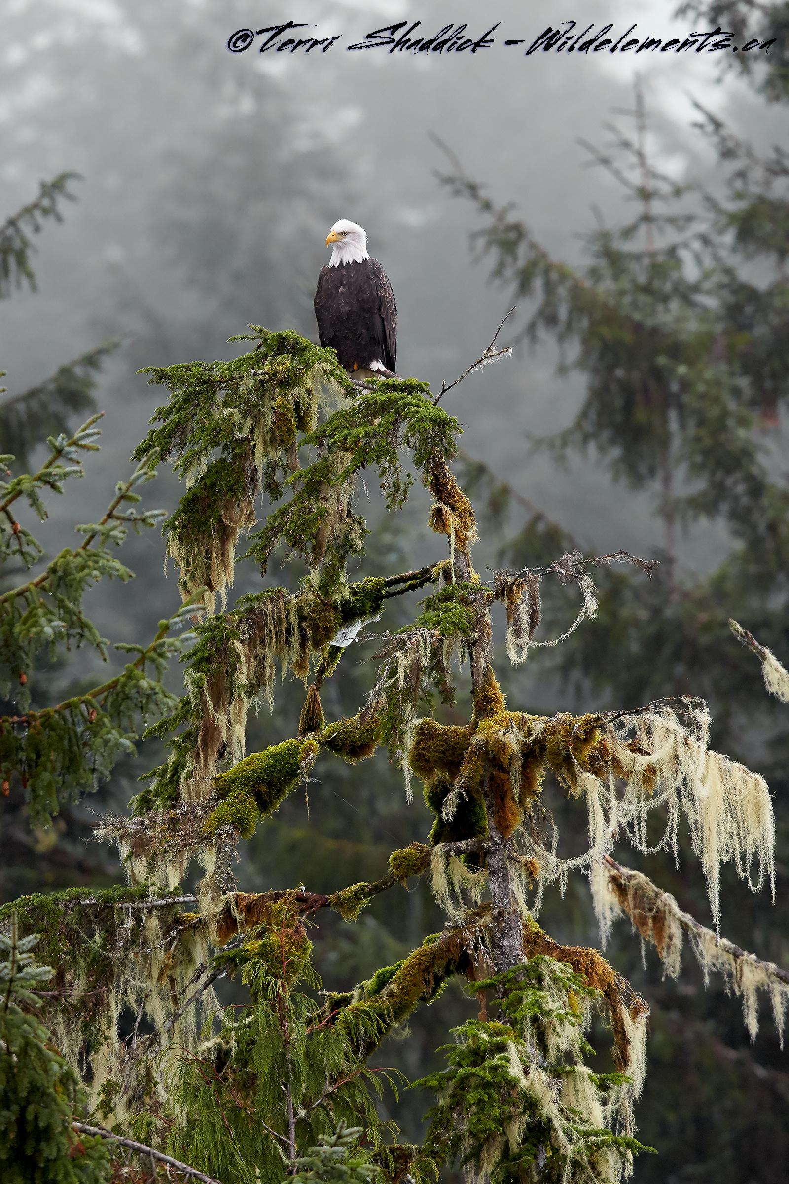Bald Eagle perched on tree