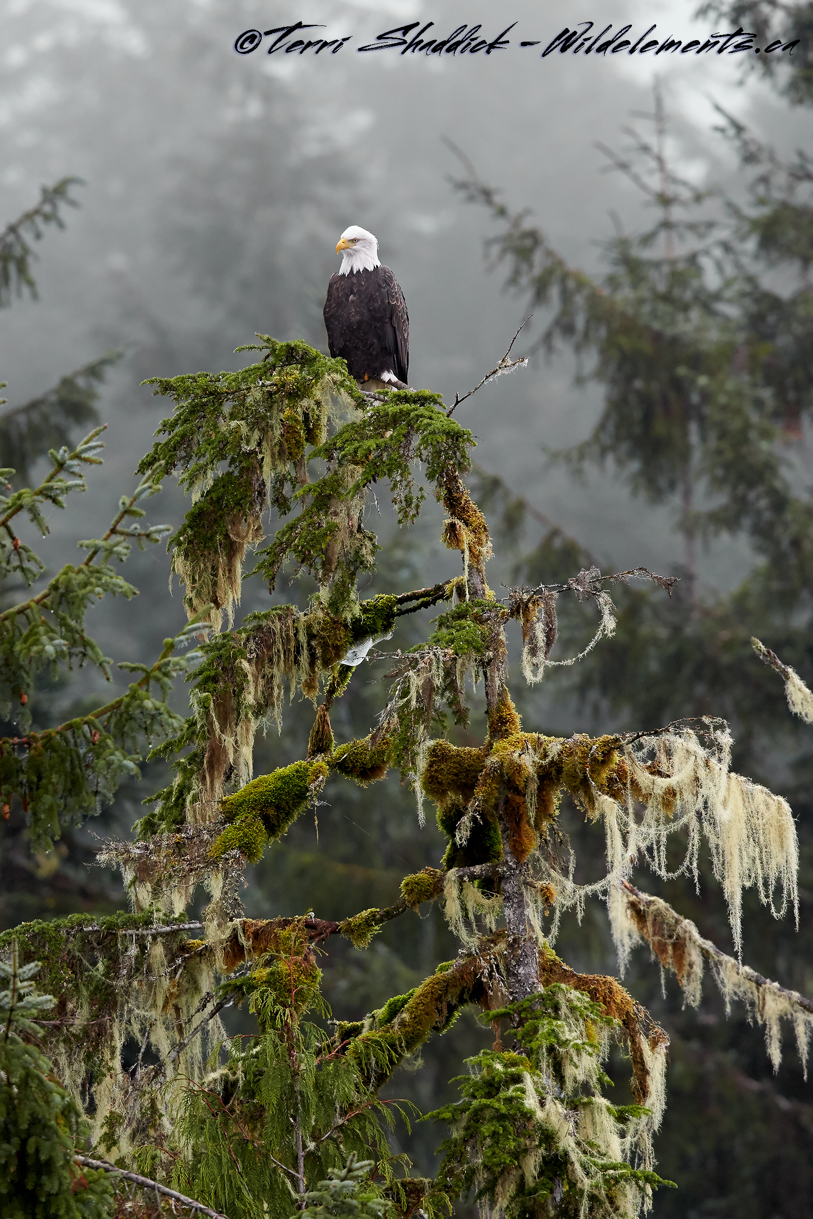 Bald Eagle perched on tree