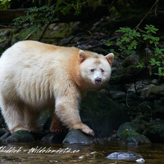 Spirit Kermode Bear Great Bear Rainforest