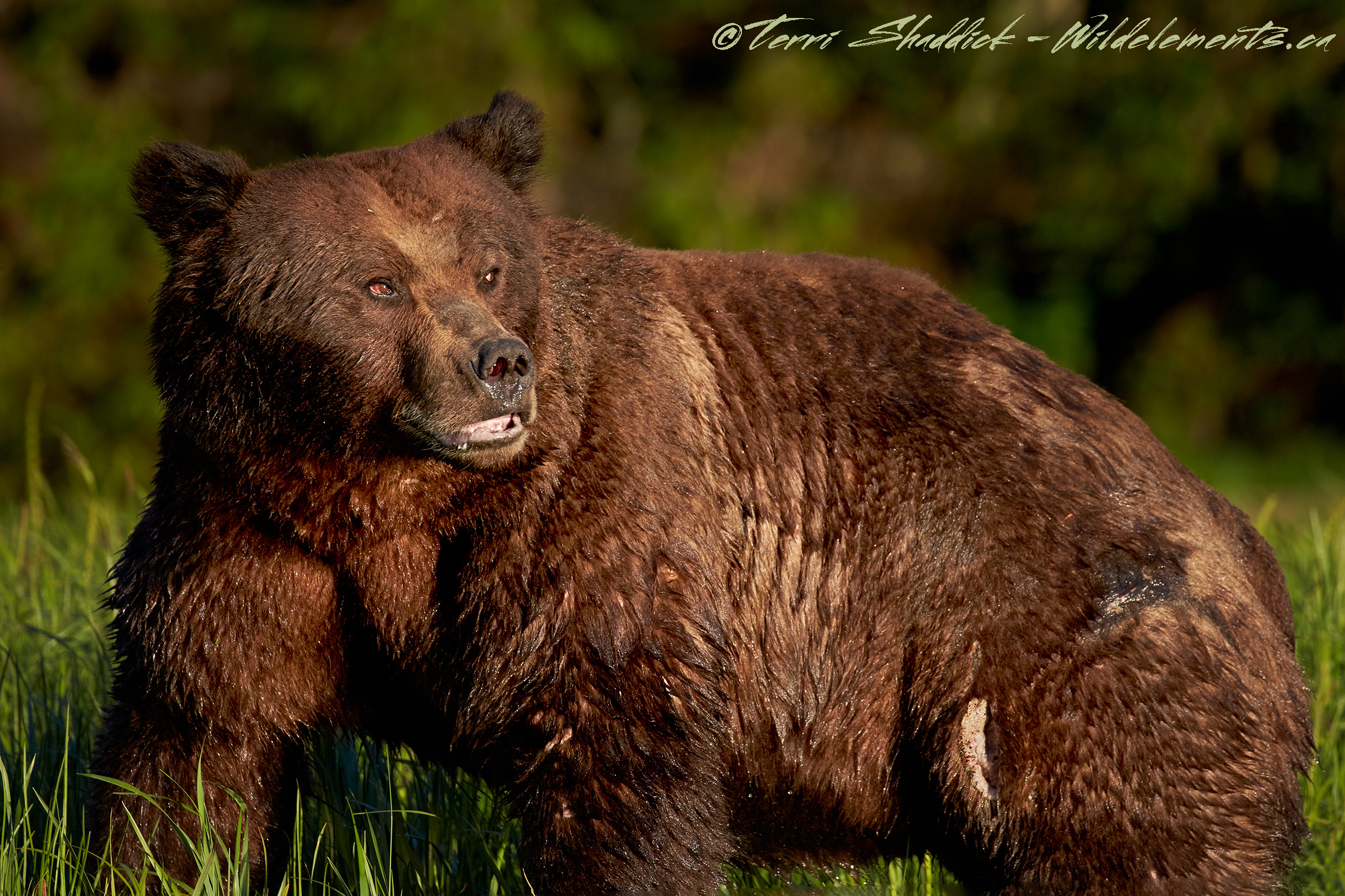 Grizzly Bear Battered Beaten Khutzeymateen British Columbia