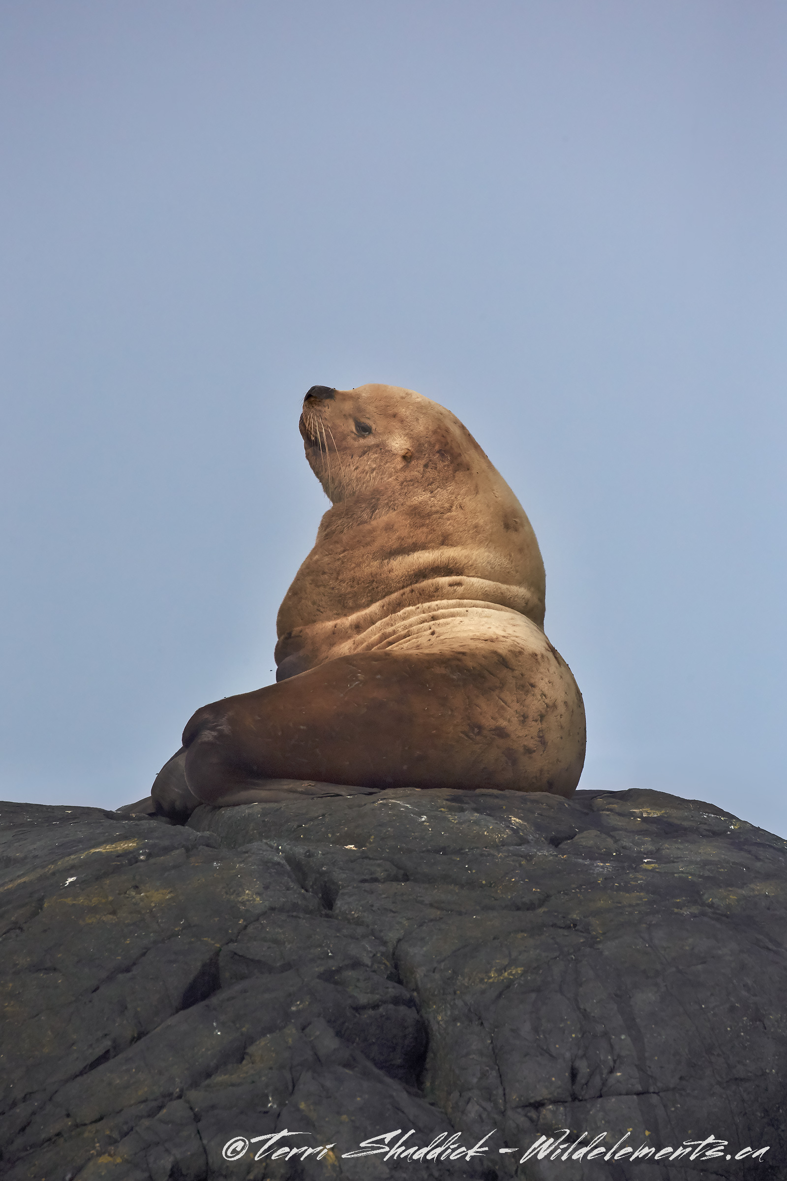 Sea Lion Rock the boss