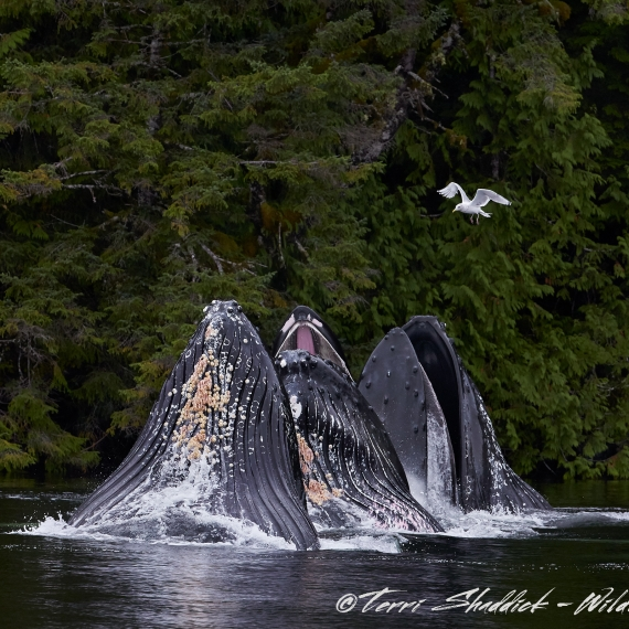 Humpback Whales bubble netting