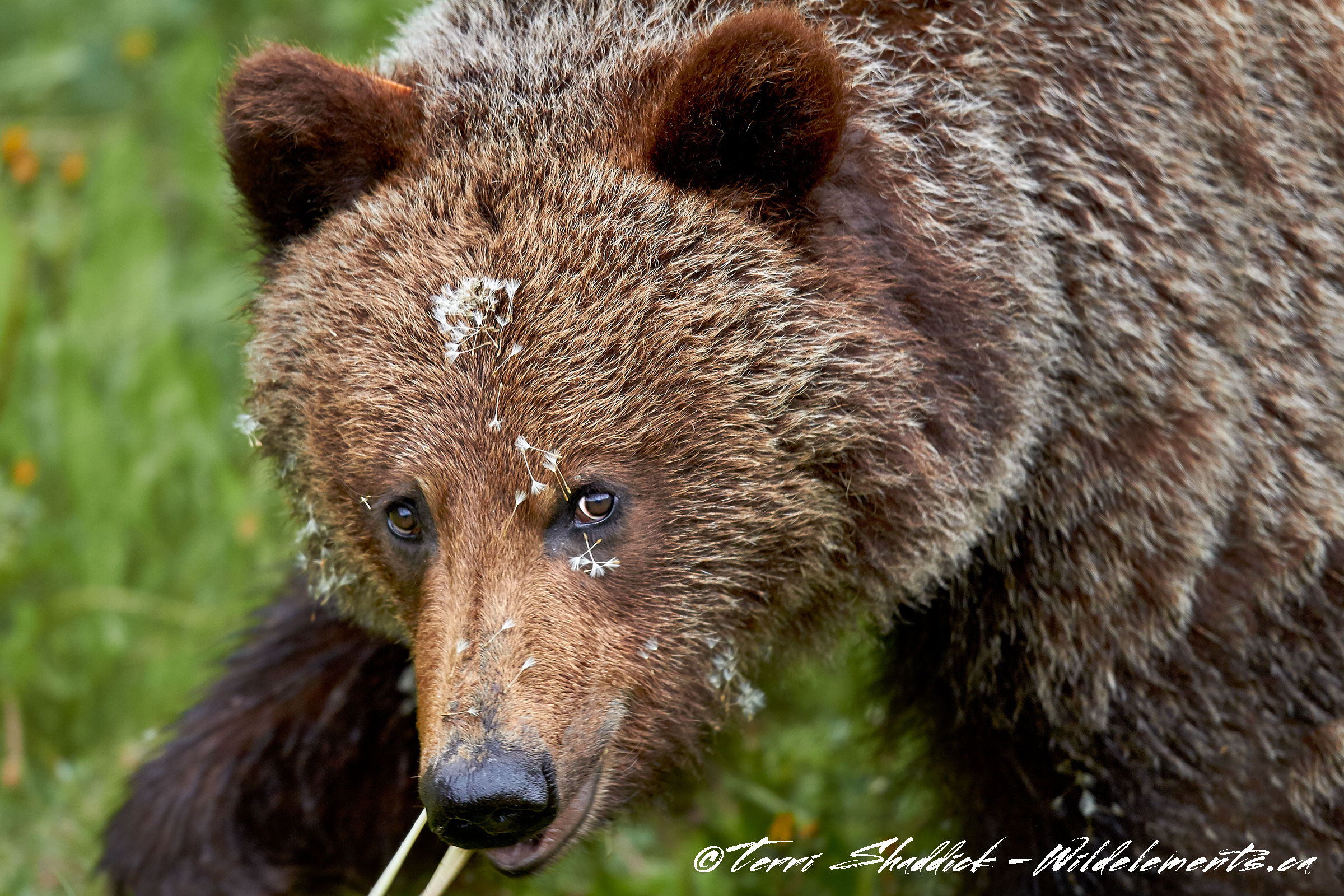 Grizzly Bear Yearling with Fluff Face