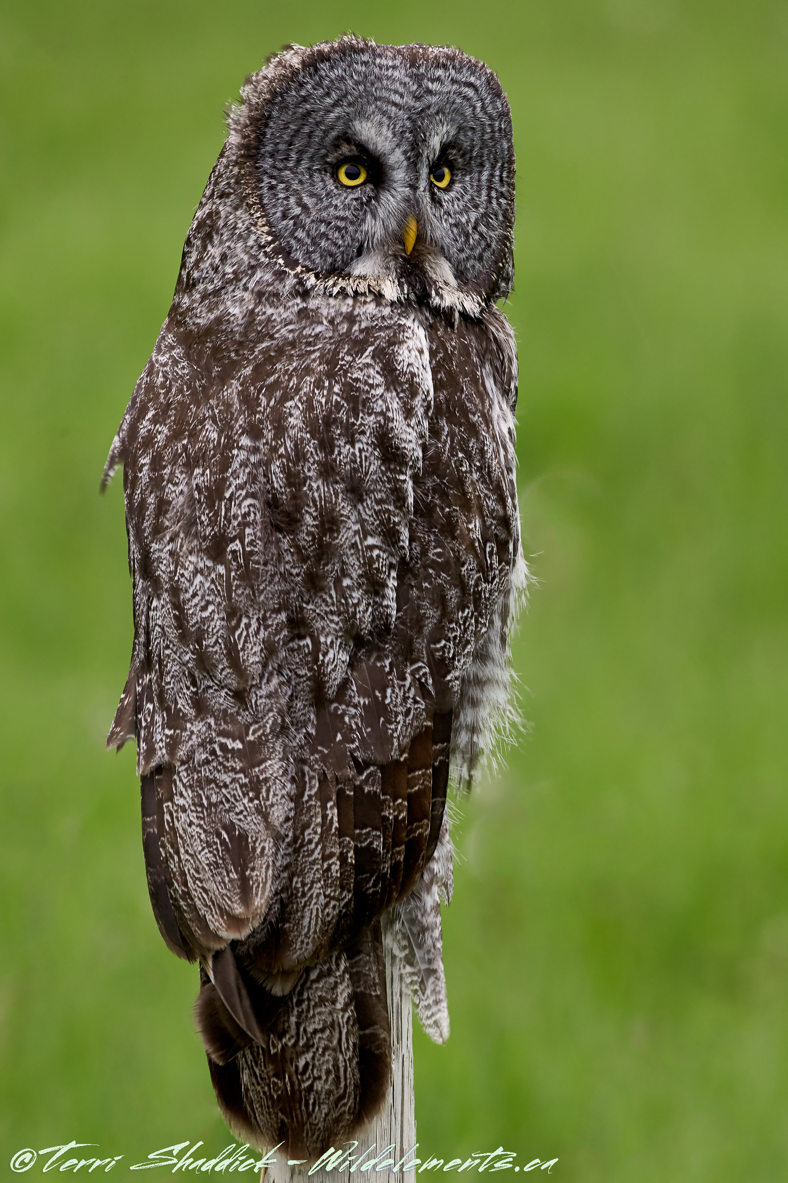 Great Gray Owl Green Background