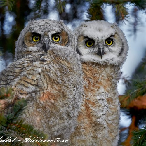 Great Horned Owls Baby Siblings
