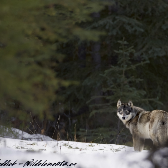 Wolf barricade