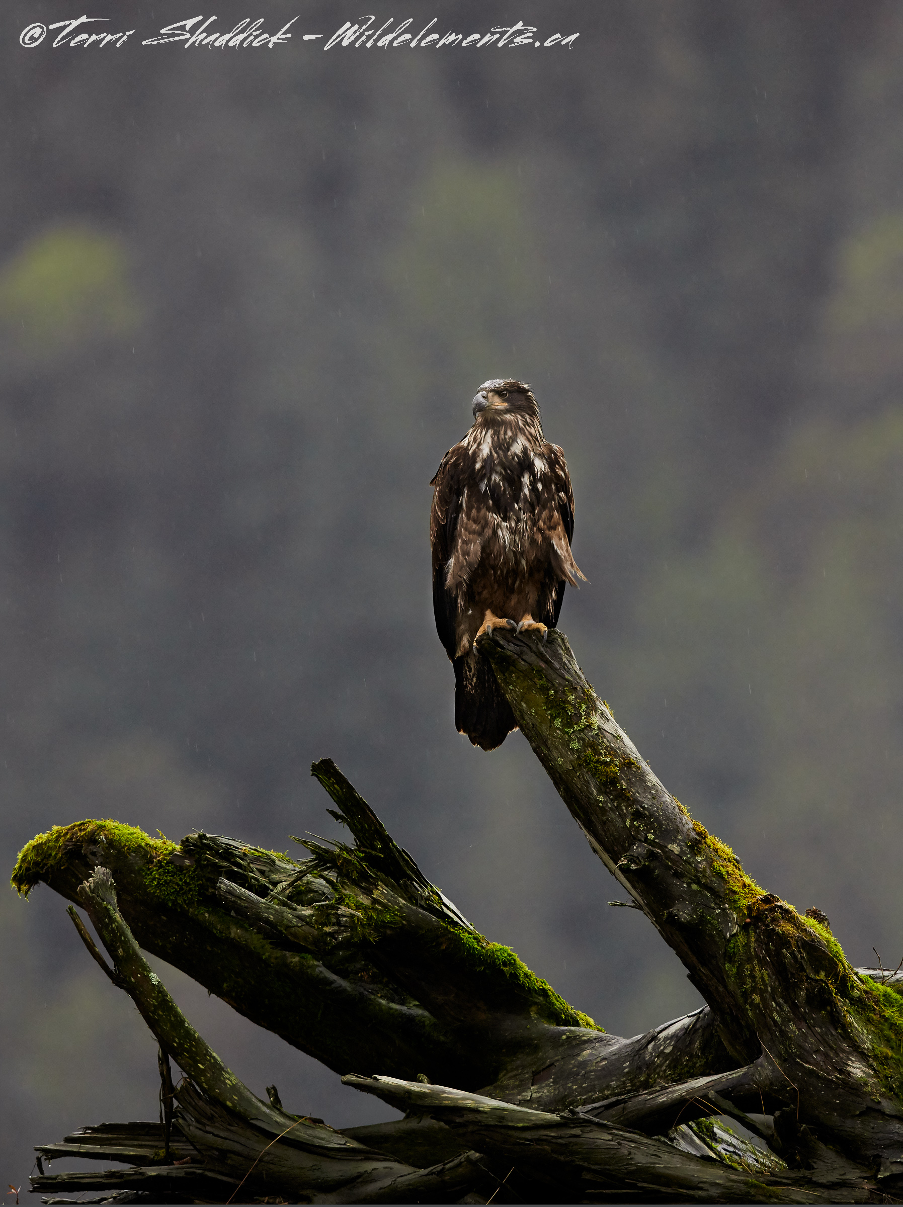 Bald Eagle perched on stump