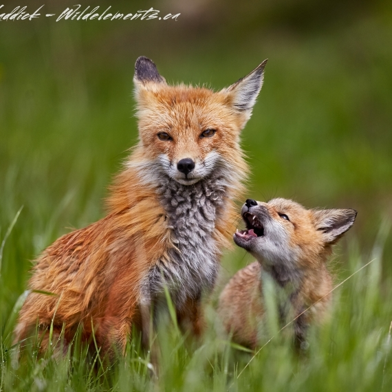 Fox kit baby and Mom
