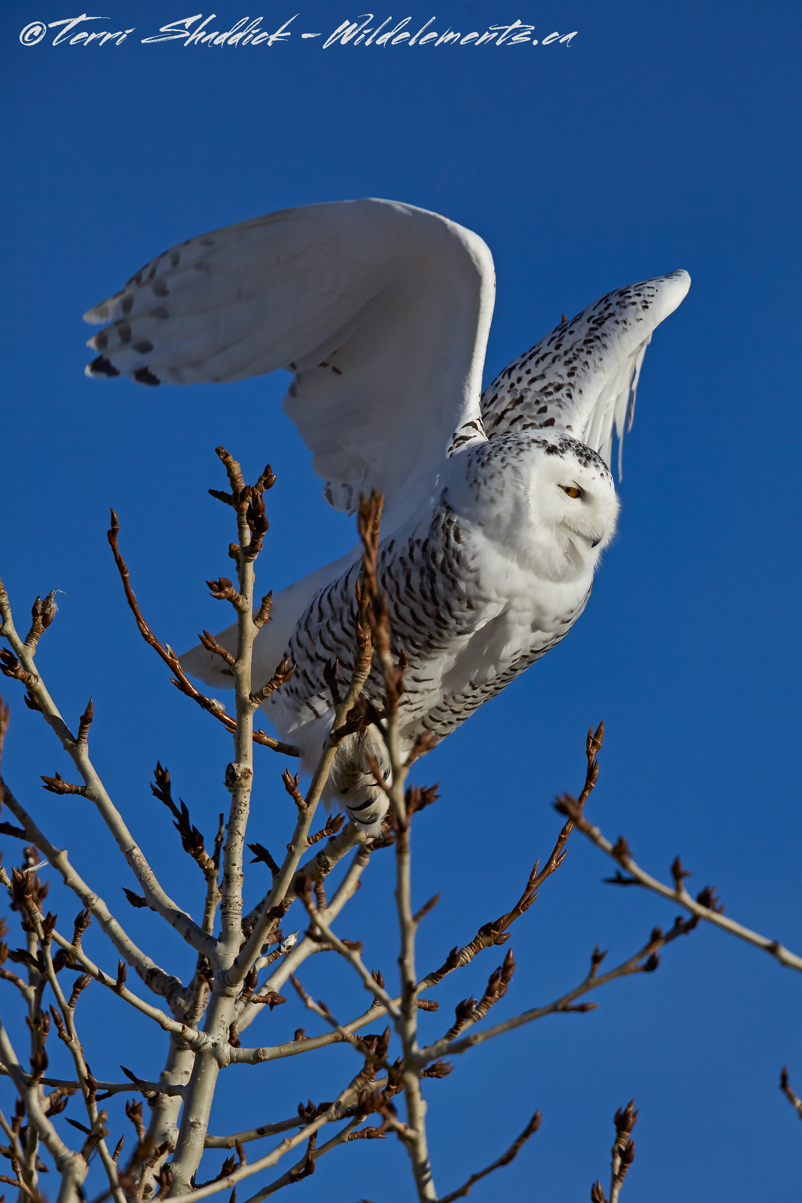 Snowy Owl ready for Lift off