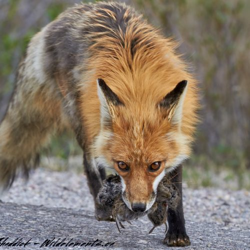 Red fox with mouth full of voles