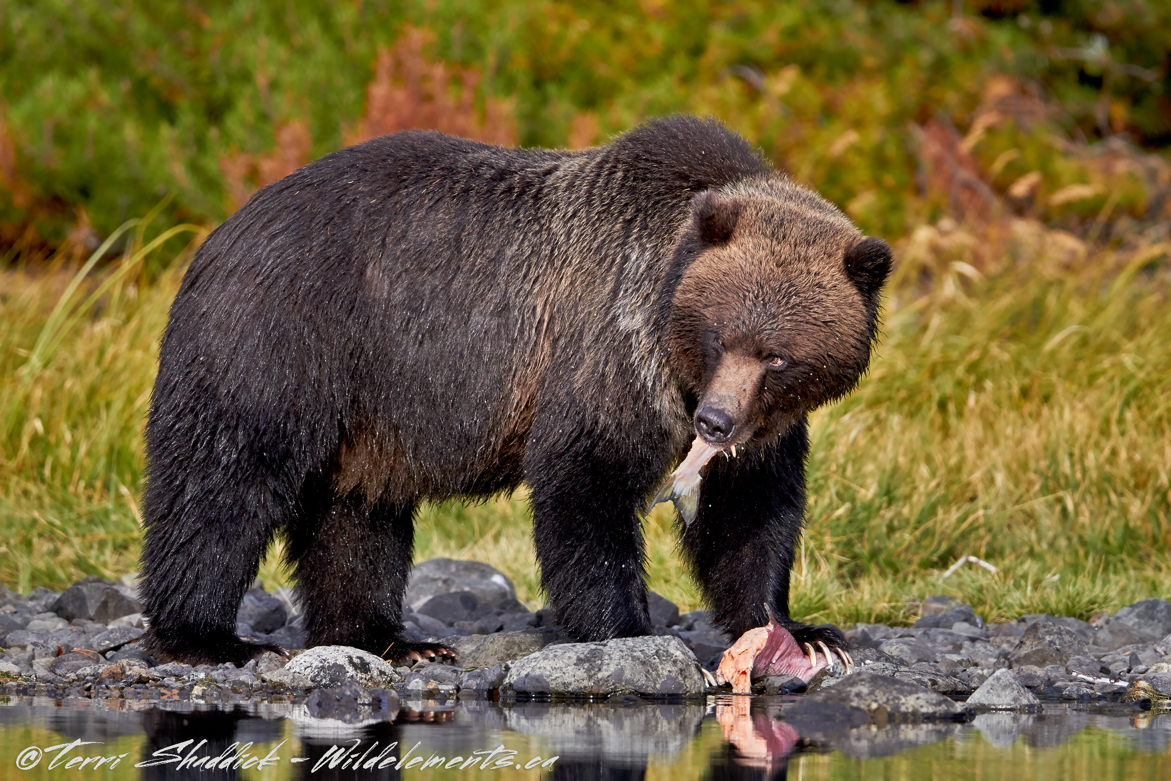 Grizzly Bear eating Pink Salmon