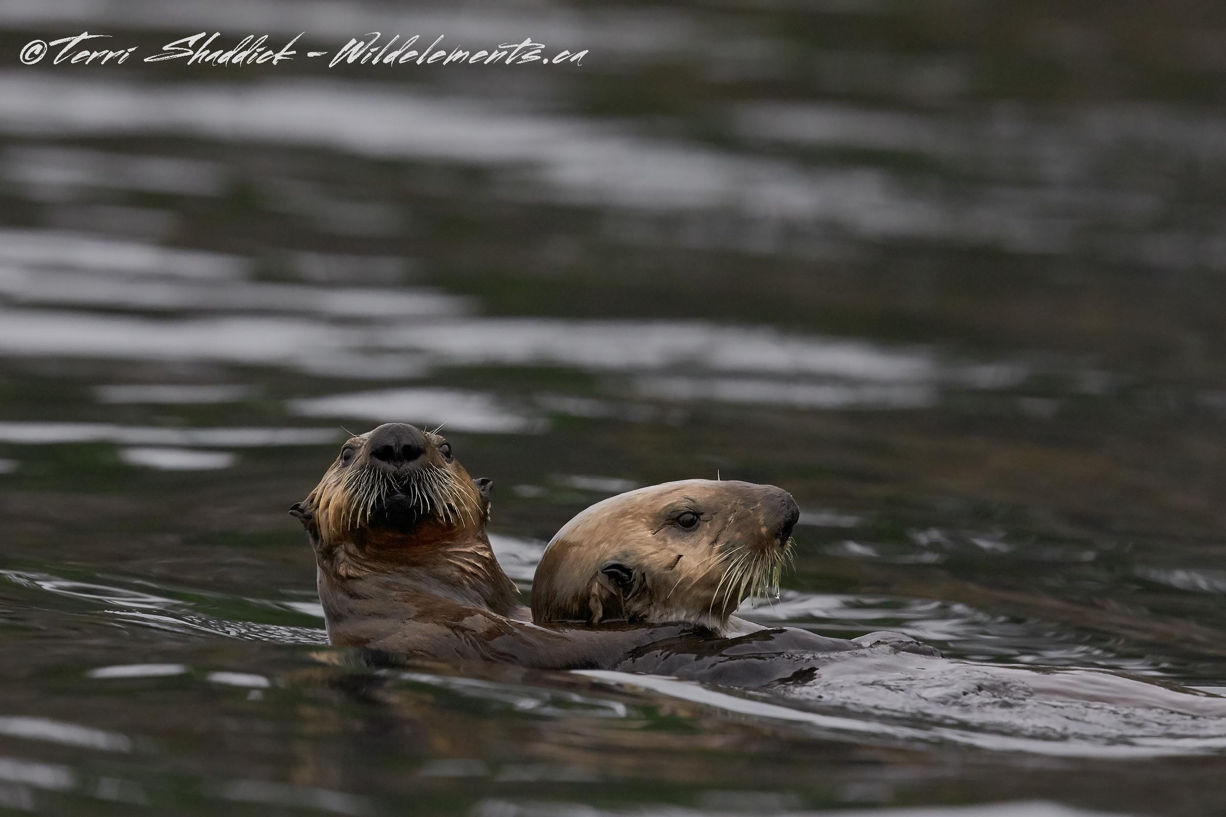 Sea Otter Piggy Back