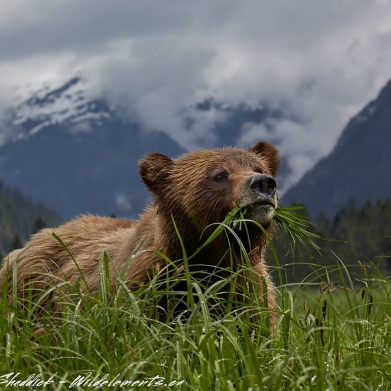 Grizzly Bear eating grass Khutzeymateen