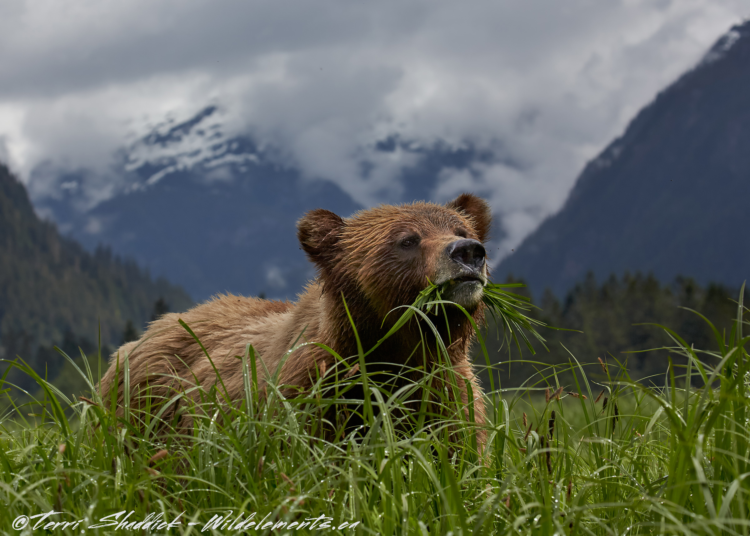 Grizzly Bear eating grass Khutzeymateen