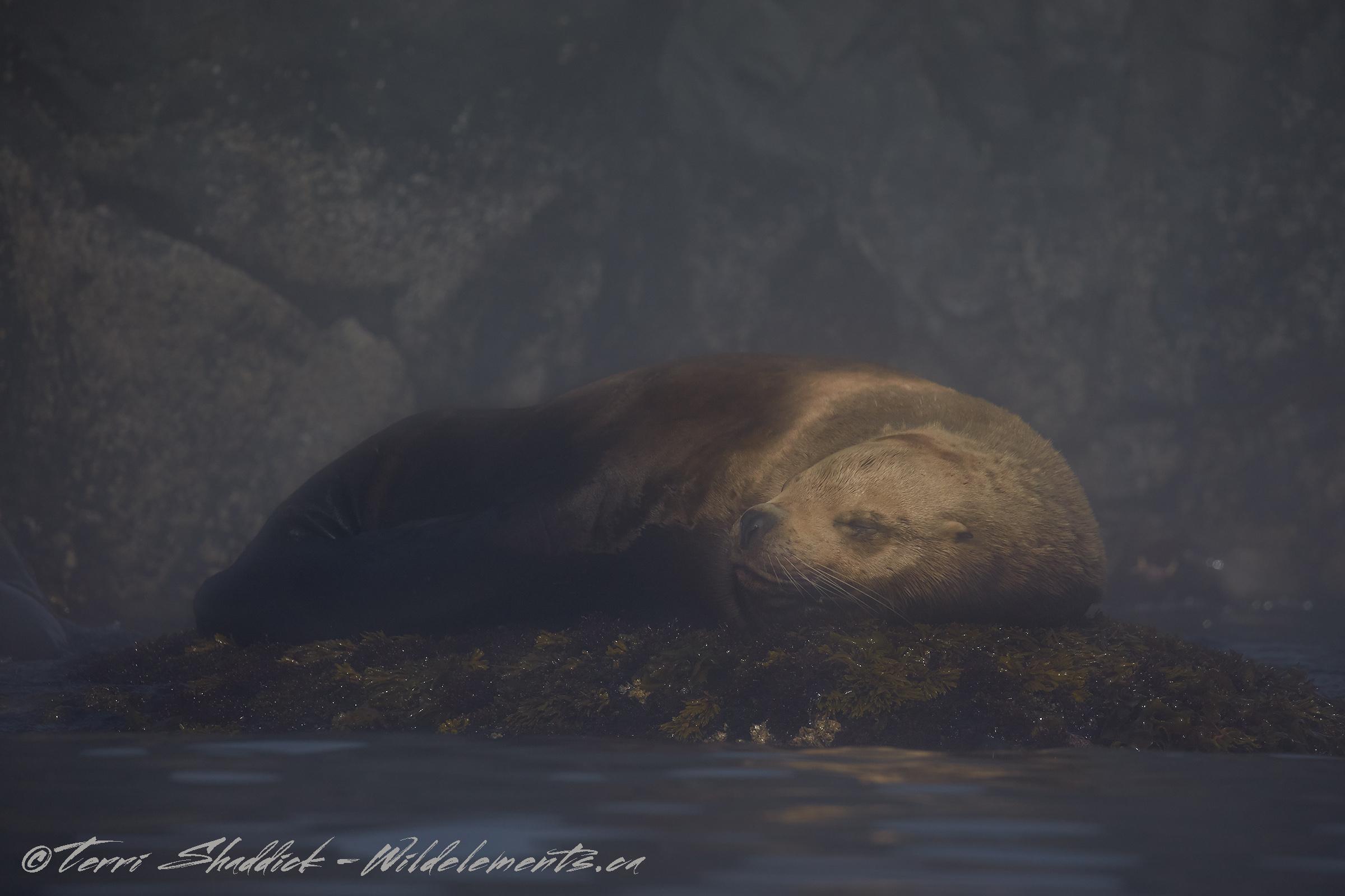 Sea Lion Snoozing Sleeping British Columbia