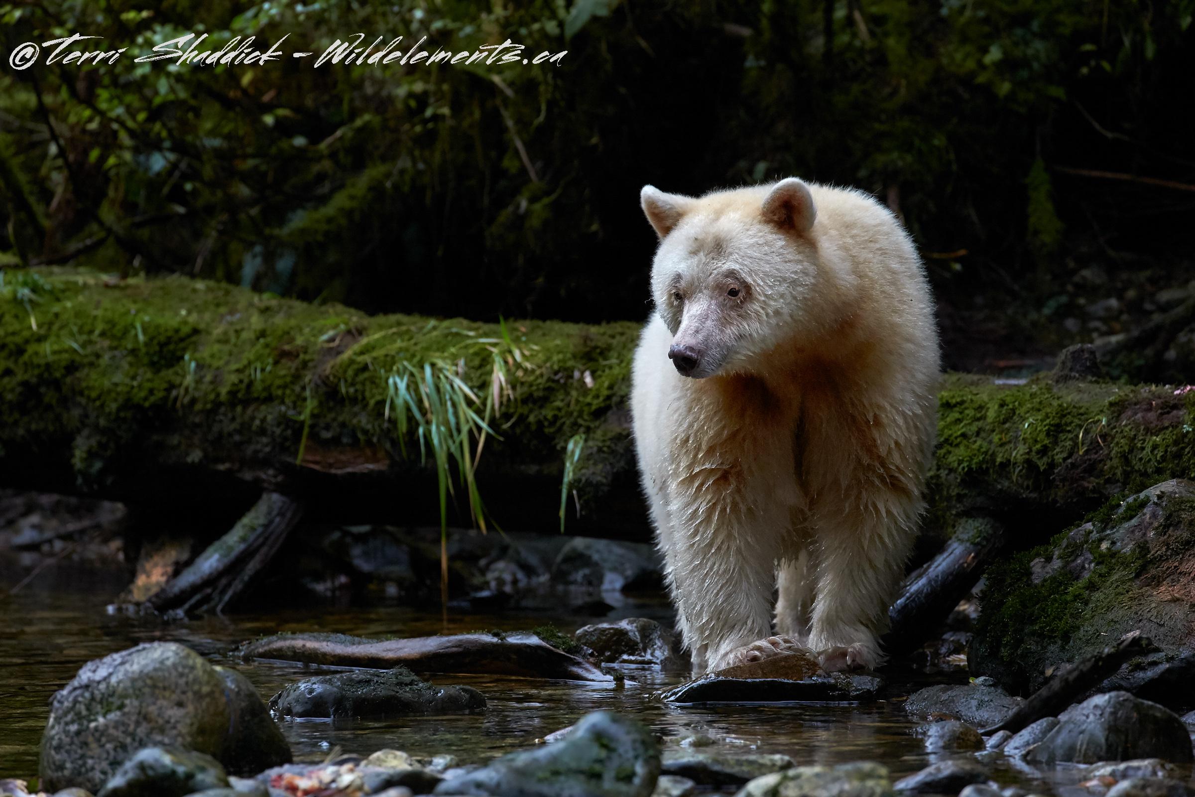 Spirit Bear Gear Bear Rainforest British Columbia