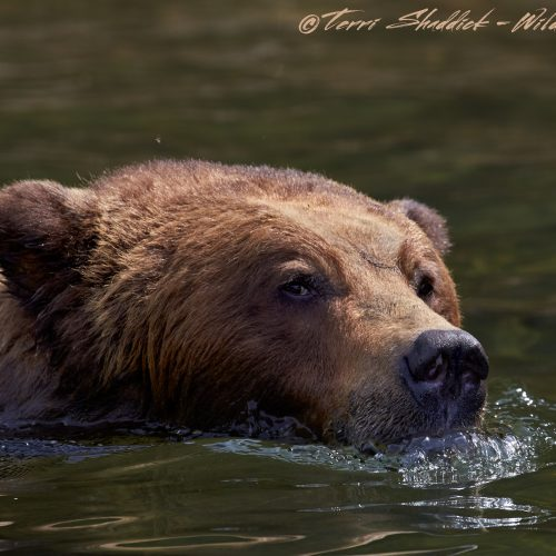 Grizzly Bear Swimming in Khutzeymateen British Columbia