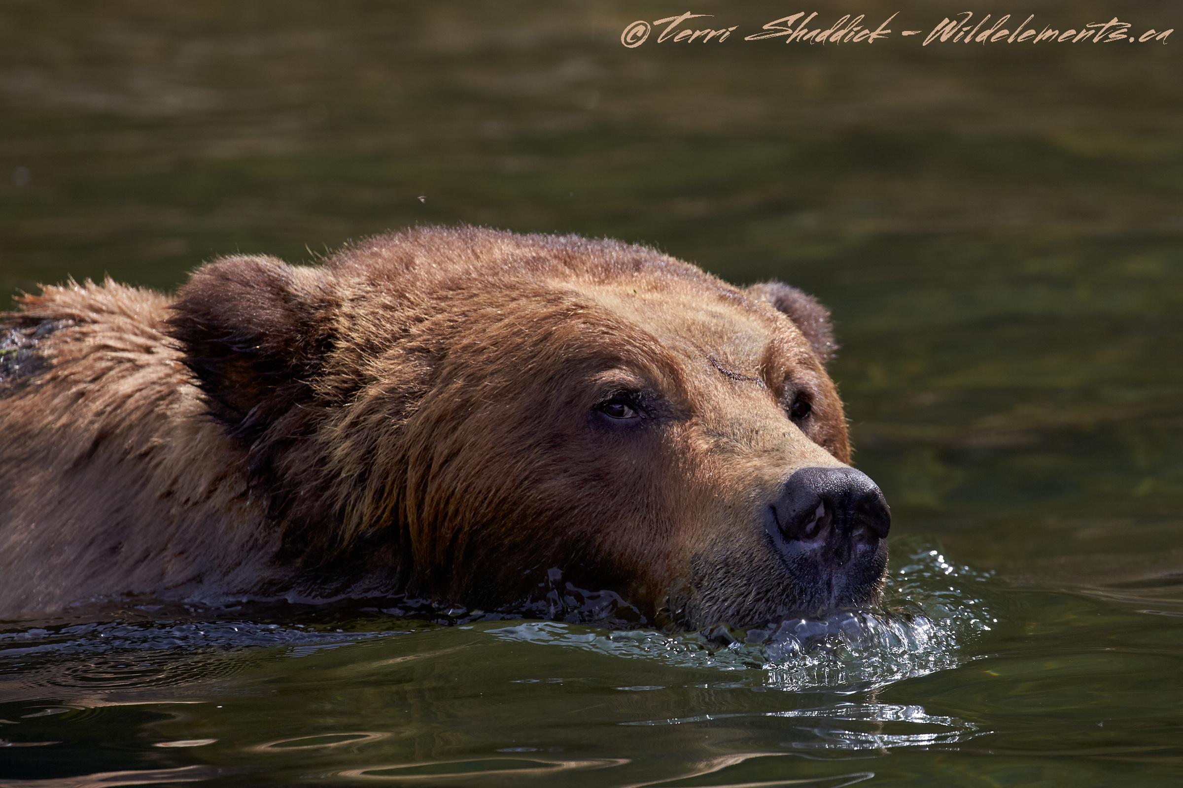 Grizzly Bear Swimming in Khutzeymateen British Columbia
