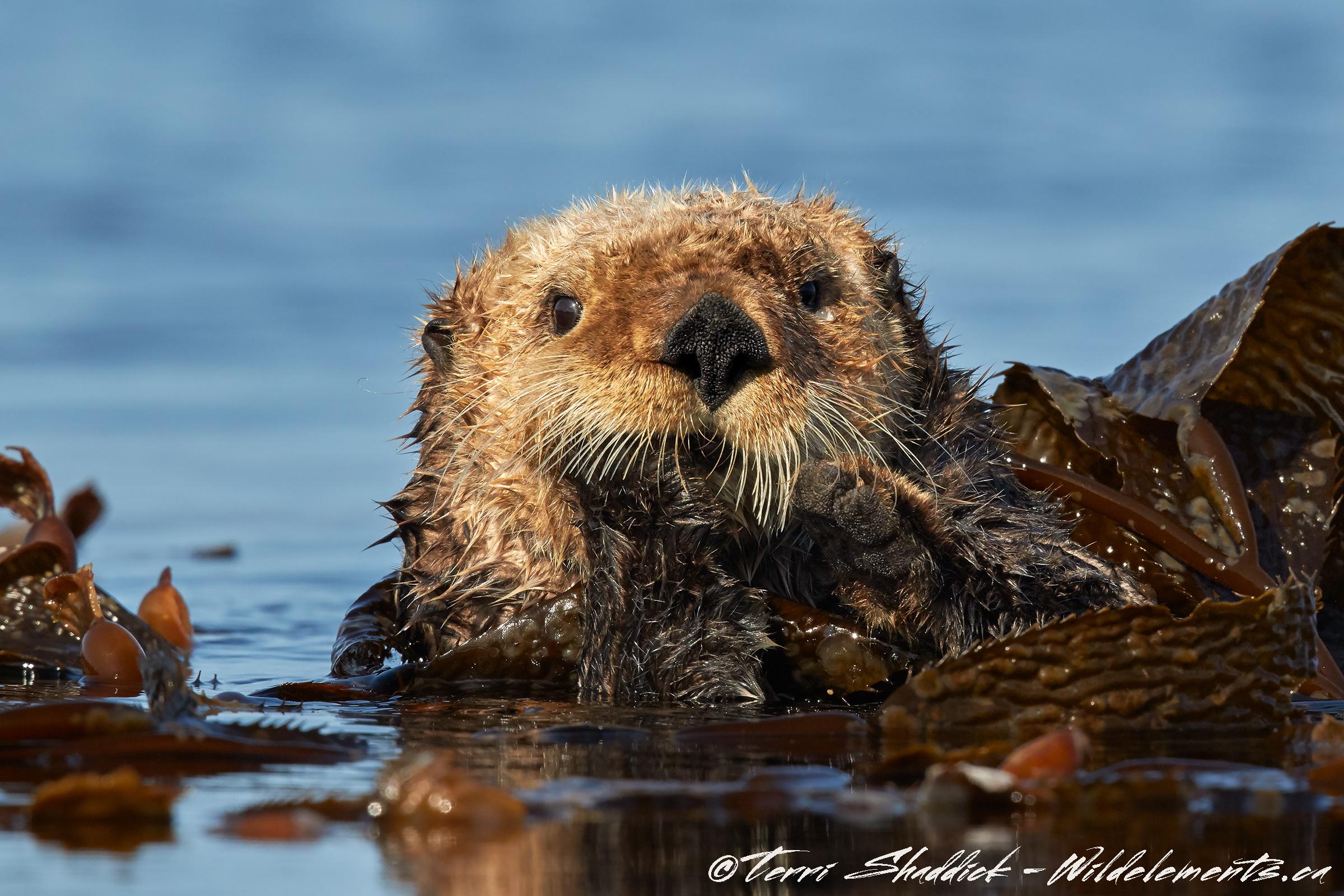 Sea Otter Serious