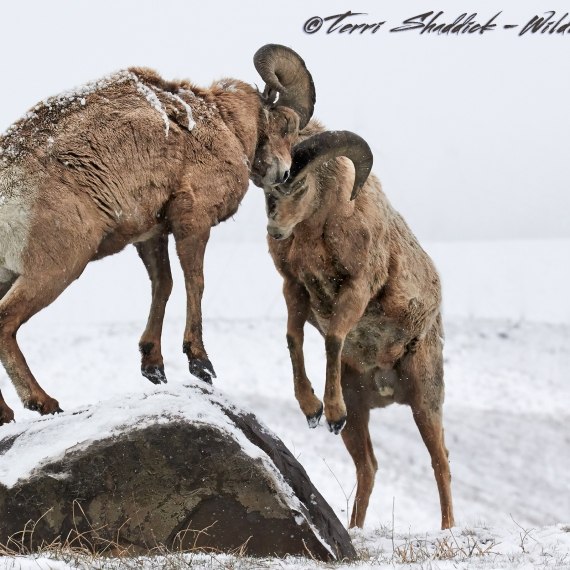 Big Horn Sheep Fighting Butting Heads