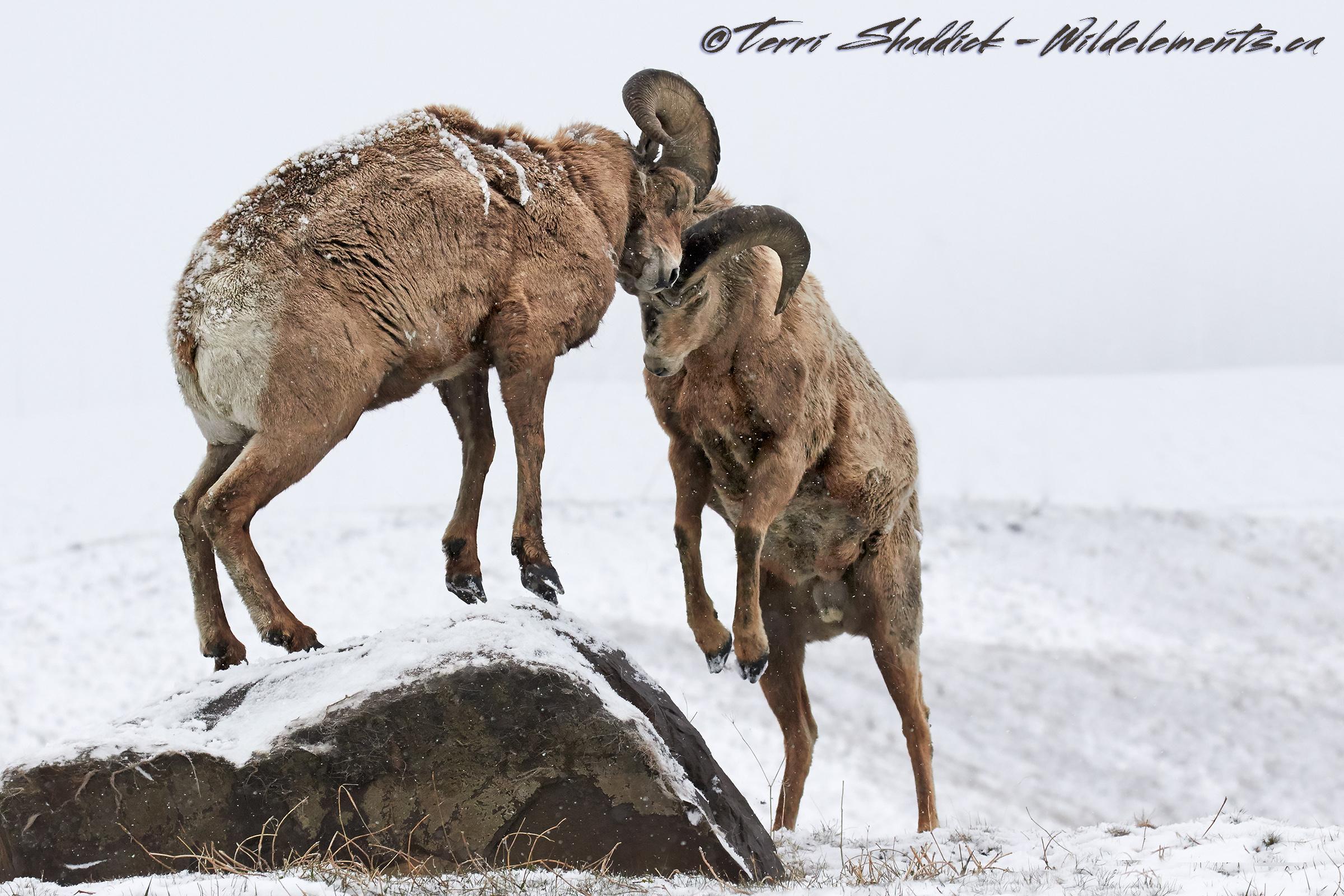 Big Horn Sheep Fighting Butting Heads