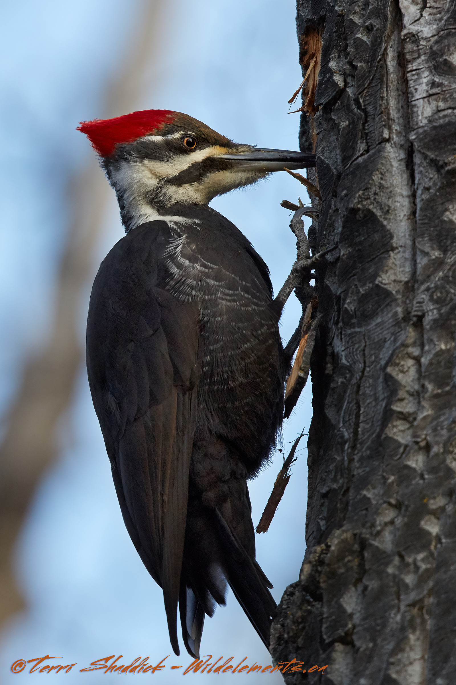 Pileated Woodpecker pecking tree