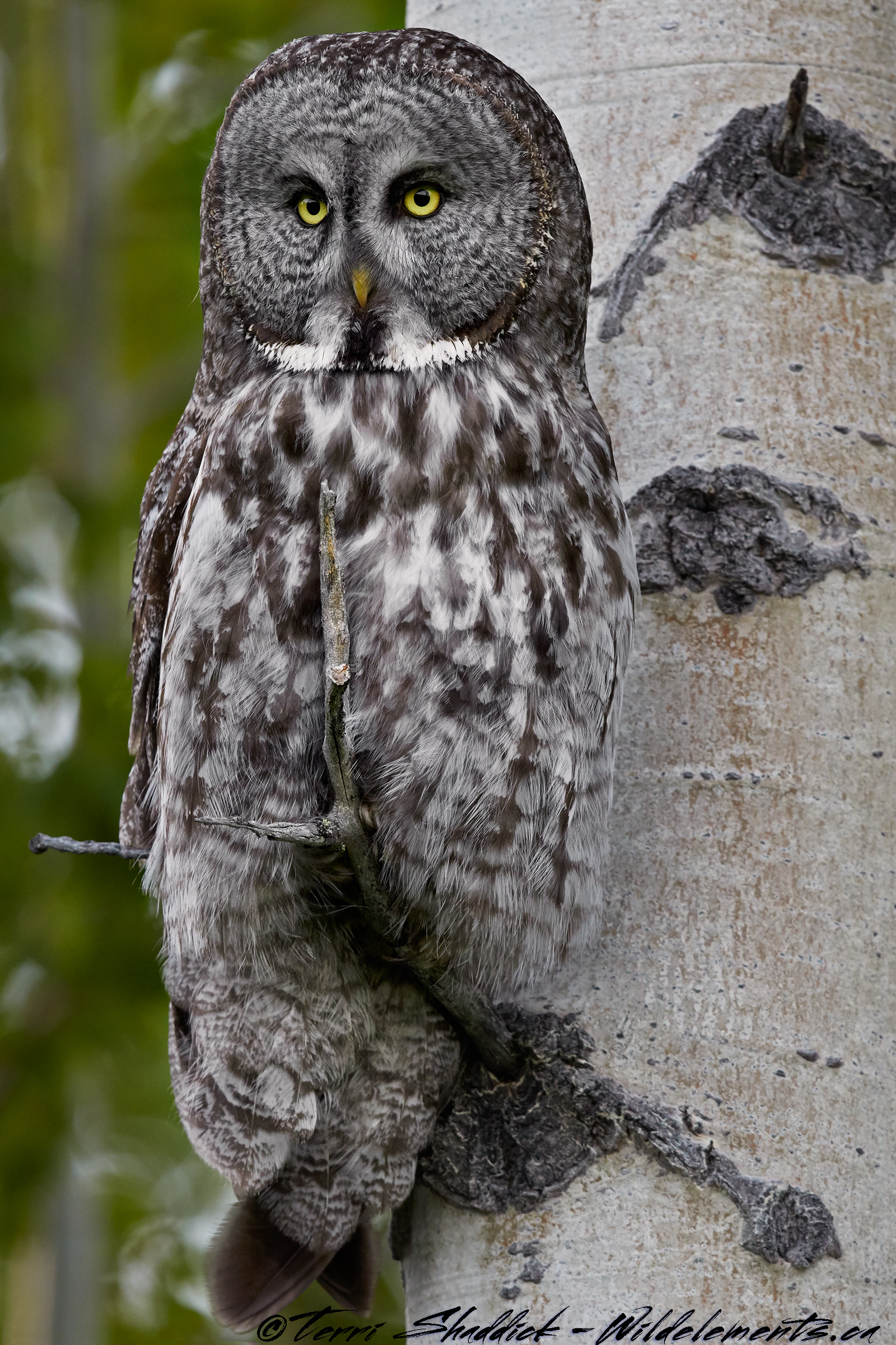 Great Gray Owl looking Statuesque