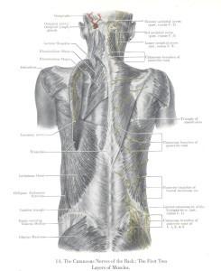 Εικόνα 1. Οι επιπολείς ραχιαίοι μύες, πλατύς ραχιαίος και τραπεζοειδής (από την ανατομία του Grant) [4].