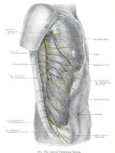 Εικόνα 2. Ο πλατύς ραχιαίος όπως καταφύεται στο άνω έσω τμήμα της αύλακος του βραχιονίου οστού (από την Ανατομία του Grant) [4].