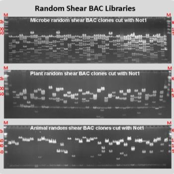 Random Shear BAC Library