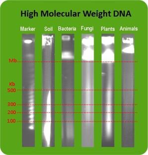 High Molecular Weight DNA