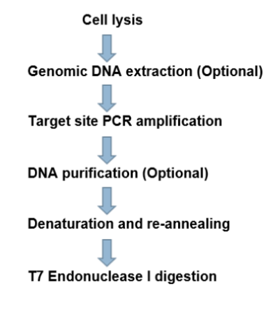 T7 Endonuclease Protocol