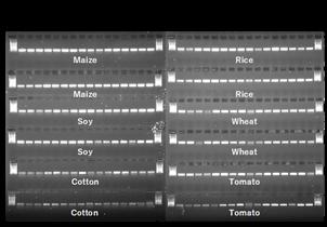FastAmp Genotyping Kit