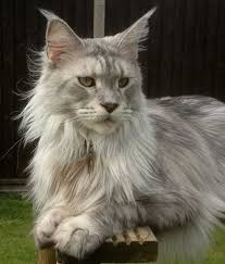 History of Maine Coon