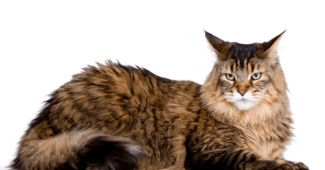 Genders in Maine Coons