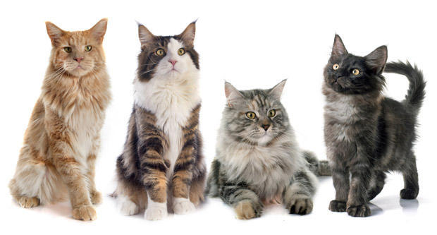 portrait of four purebred maine coon cats on a white background
