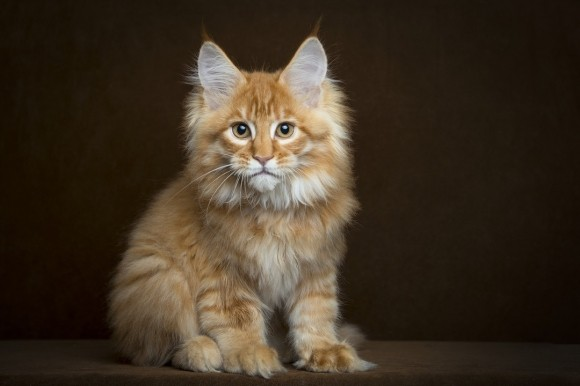 Lifespan of a Maine Coon
