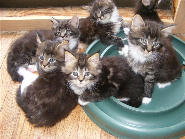 Maine Coon Cat Breeders