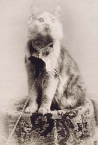 Maine Coon Cat shows and competitions