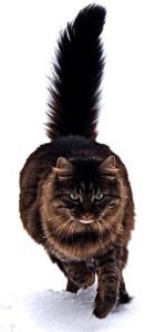 Maine coon cat by tomitheos