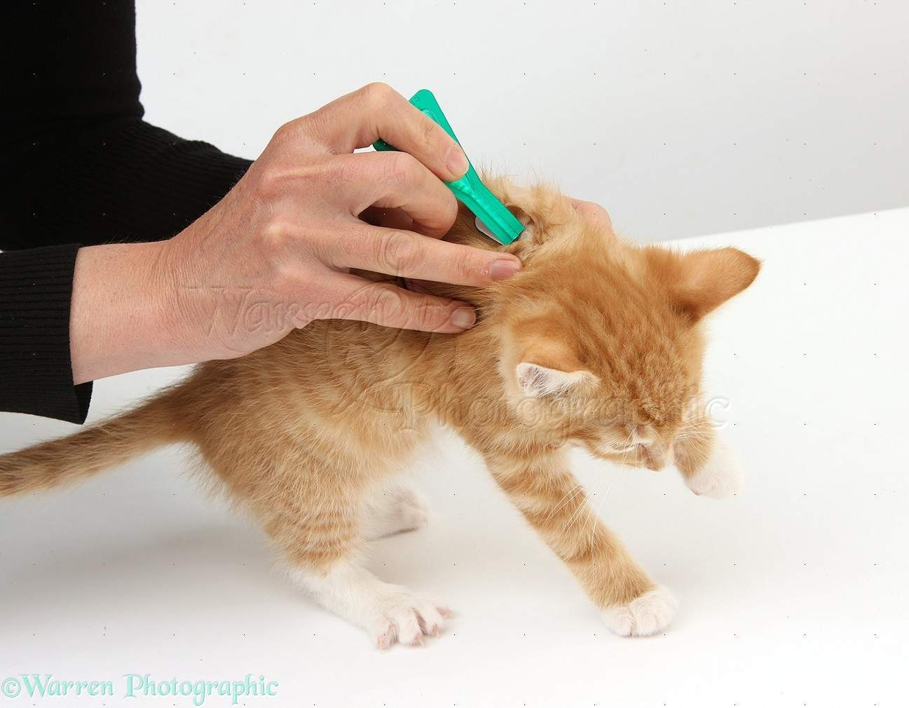 Applying spot-on flea treatment to a maine coon